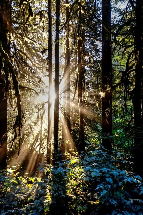 Solstrålar till och med träd arkivbilder