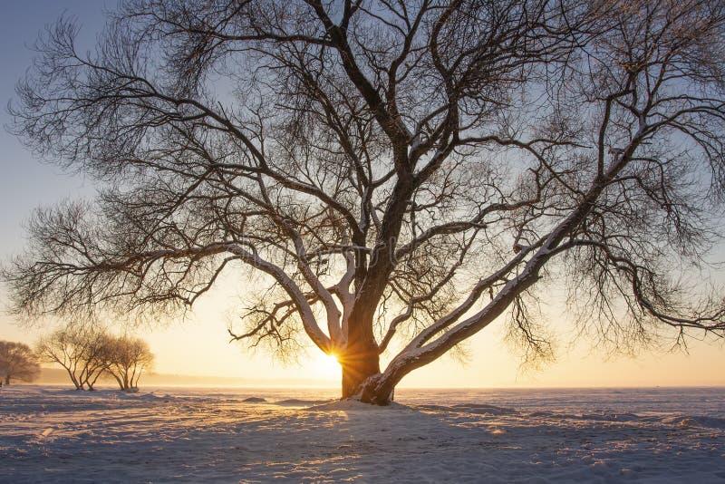 Solstrålar till och med träd på snöig äng på solnedgången härlig vinter för kopieringsplatsavstånd Gult solljus Snöig träd på isk royaltyfria foton