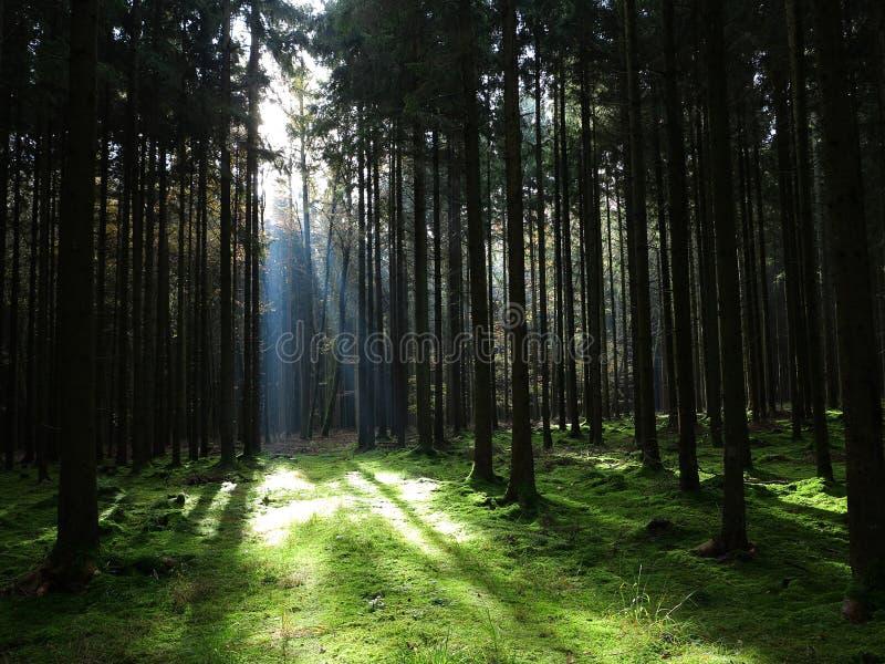 Solstråle in i prydlig skog arkivbild