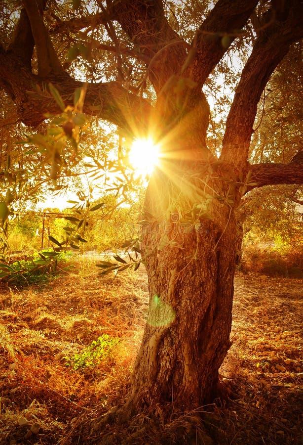 Solstråle till och med olivträdfilial royaltyfria foton