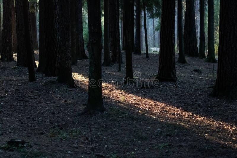 Solstrålen i en mörk tätt skog royaltyfria bilder