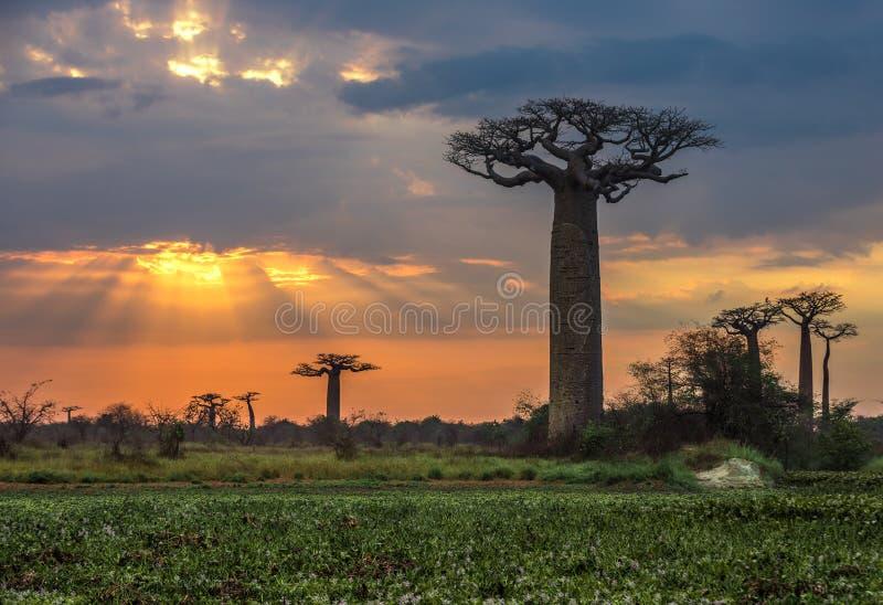 Soluppgång över avenyn av baobabsna, Madagascar arkivbilder