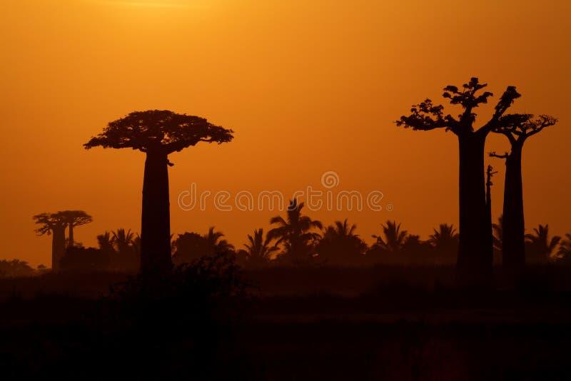 Soluppgång över Baobabträd royaltyfri fotografi