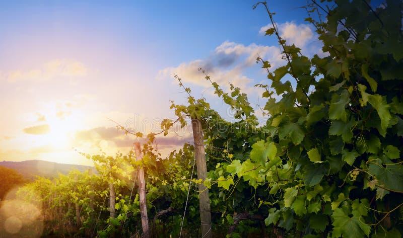 Soluppgång över druvavingård; landsc för morgon för sommarvinodlingregion royaltyfria bilder