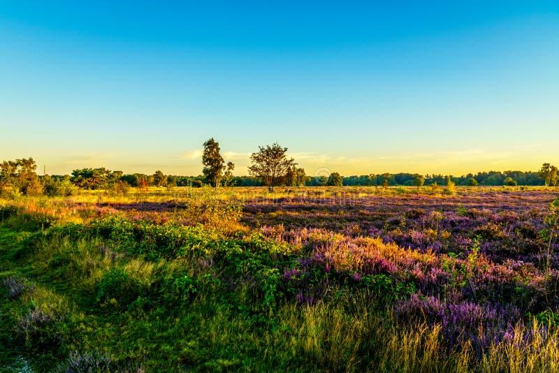 Soluppgång över Ermelosen Heide med oavkortad blom för Callunaljungar royaltyfri fotografi