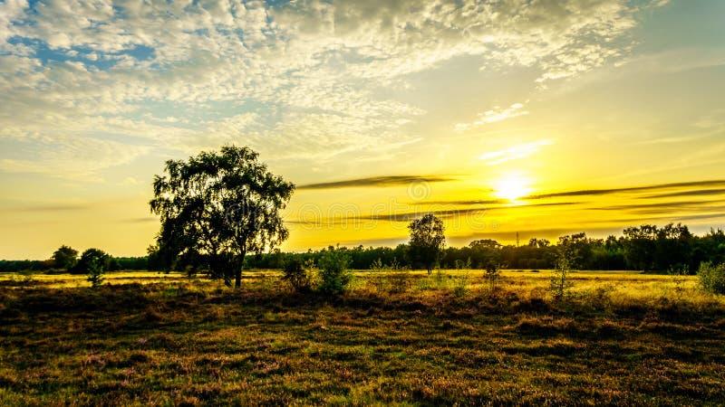 Soluppgång över Ermelosen Heide med oavkortad blom för Callunaljungar royaltyfri foto