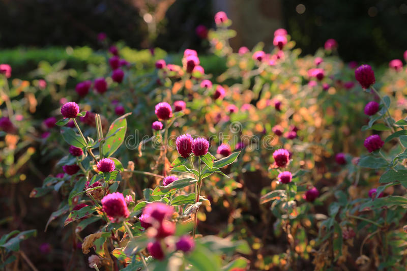 Soluppgång över ett blomstra fält royaltyfri bild