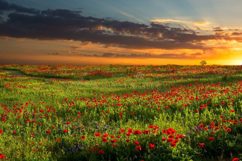 Soluppgång över röd havre Poppy Fields i Texas arkivbilder