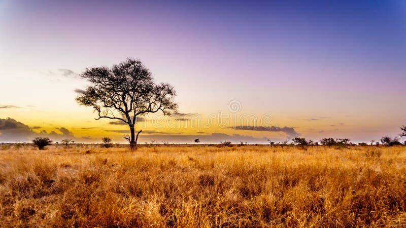 Soluppgång över savann- och gräsfälten i den centrala Kruger nationalparken arkivbilder
