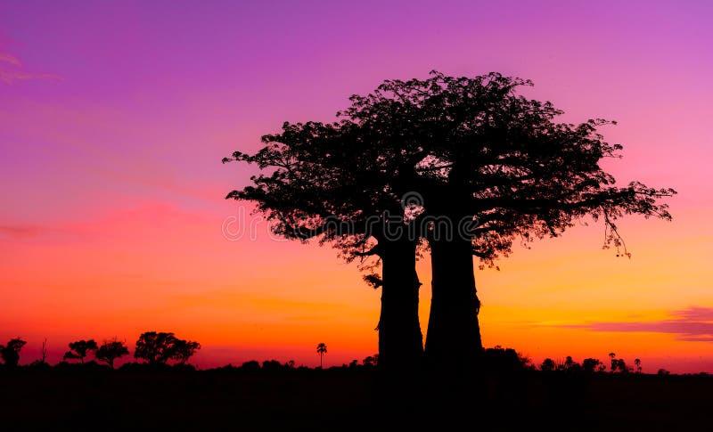 Soluppgång Afrika med Baobabträdet i den Okavango deltan royaltyfria foton