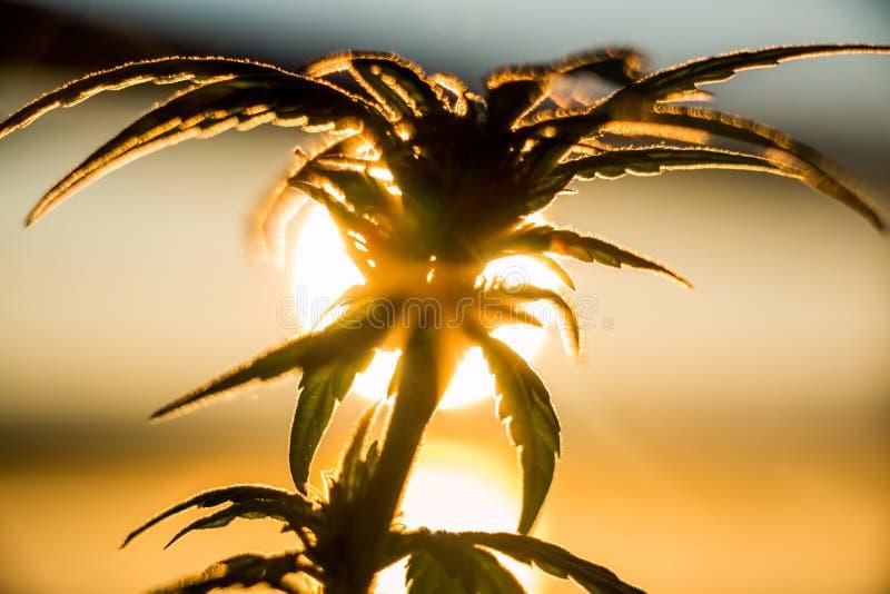 Soluppgång för marijuanaväxt royaltyfria foton