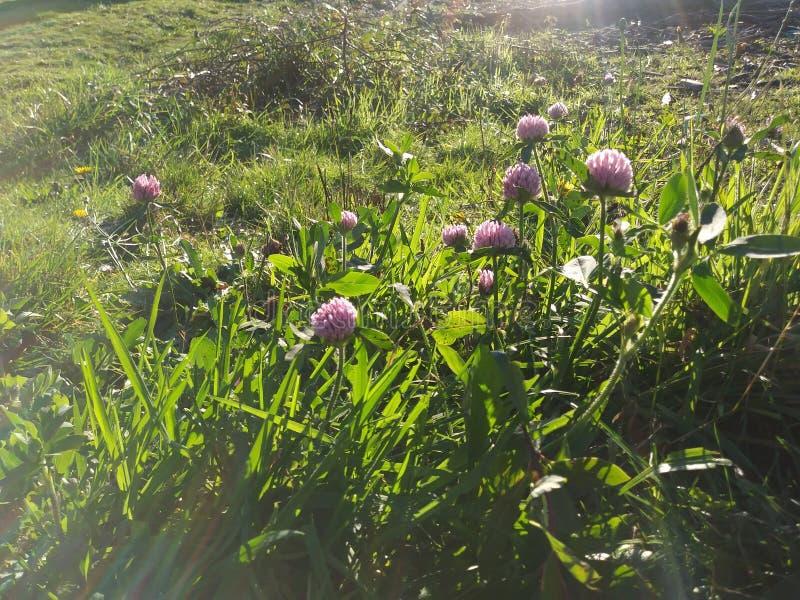 Soluppgång i de purpurfärgade blommorna arkivfoto