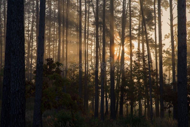 Soluppgång i en pinjeskog strålarna av solen i morgonen som skiner till och med filialerna av träd i en ogenomskinlighet royaltyfria bilder