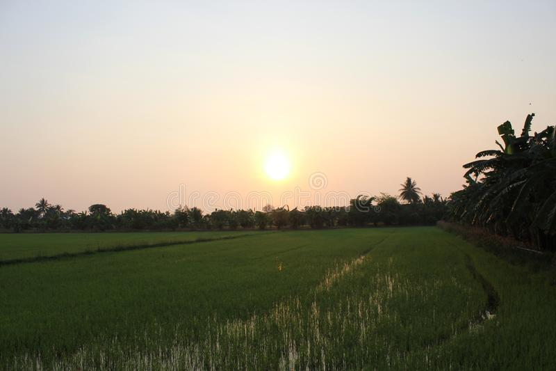 Soluppgång i morgonen i risfältet royaltyfria bilder