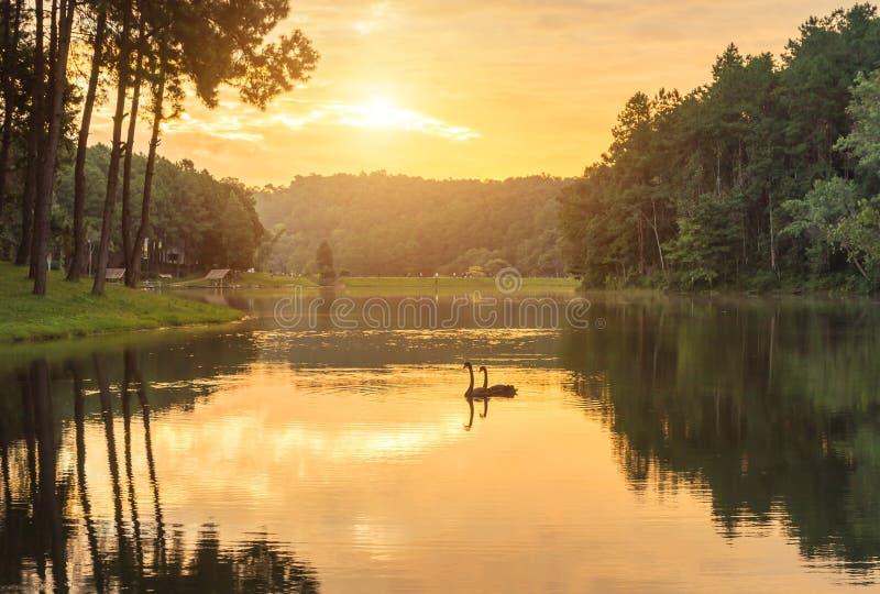 Soluppgång i otta på stingungsjön med simning för par för svanCygnusatratus i vattnet arkivbilder