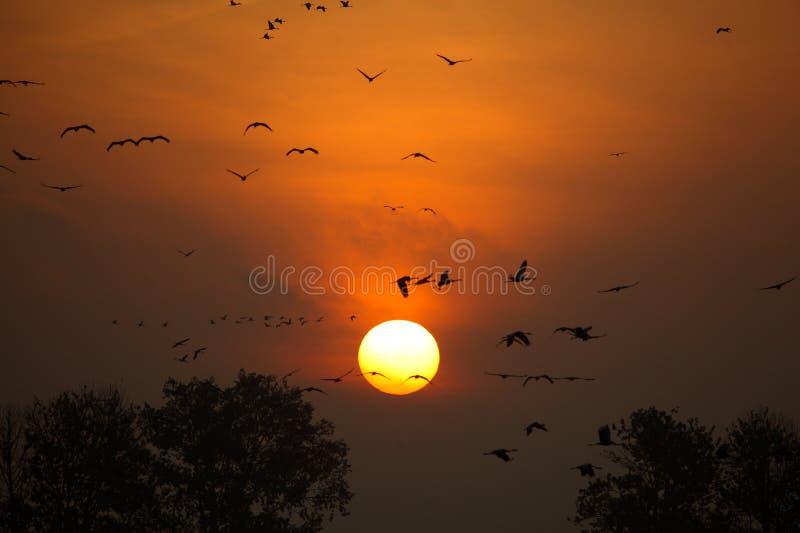Soluppgång med flockar av flygkranar arkivfoto
