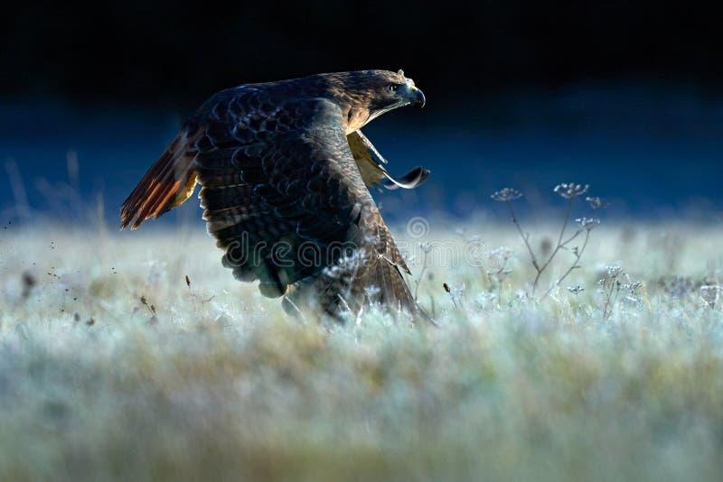 Soluppgång med hök Flytande rovfåglar ovanför ängsmark, rödskalig hawk, Buteo jamaicensis, som landar i skogen Wildlife fotografering för bildbyråer