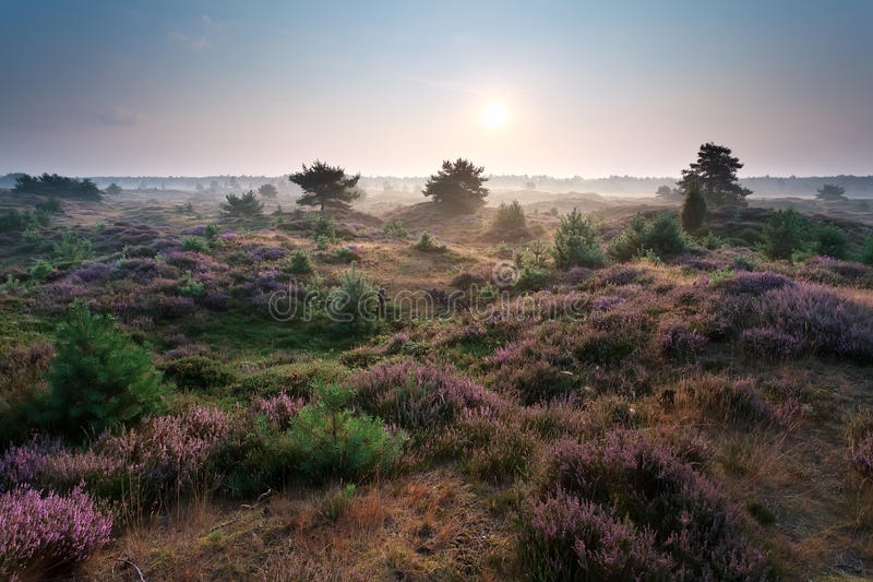 Soluppgång- och blomningljung på dyn arkivbilder