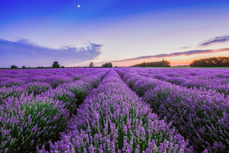 Soluppgång och dramatiska moln över lavendelfält royaltyfri fotografi