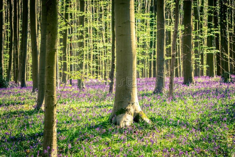 Soluppgång och en matta av blåklockor i den blåa Forest Hallerbos NP, Halle, Flanders, Belgien arkivbilder