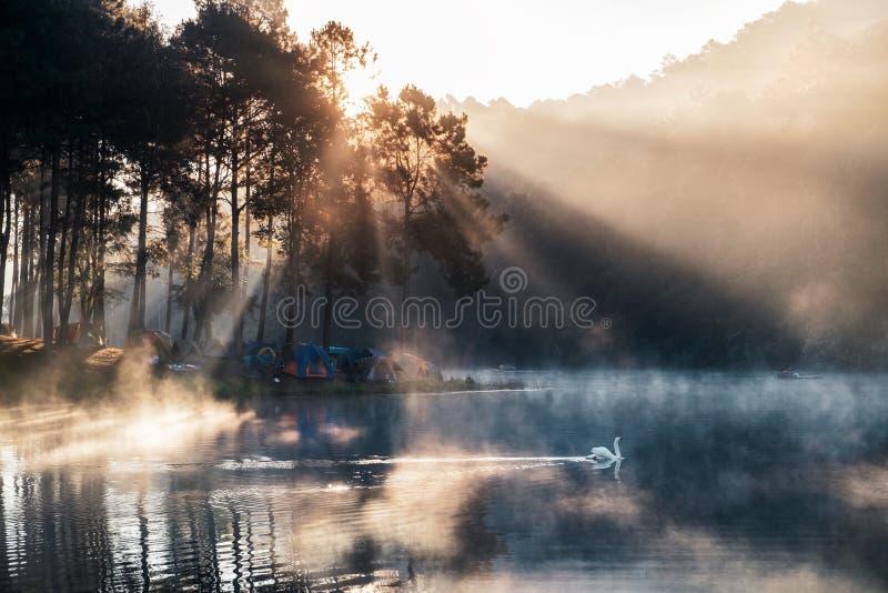 Soluppgång på pinjeskog med den dimmiga och vita svanen i behållare arkivfoto