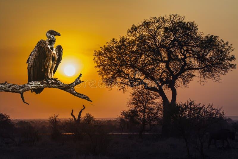 Soluppgånglandskap och gam i den Kruger nationalparken arkivbild