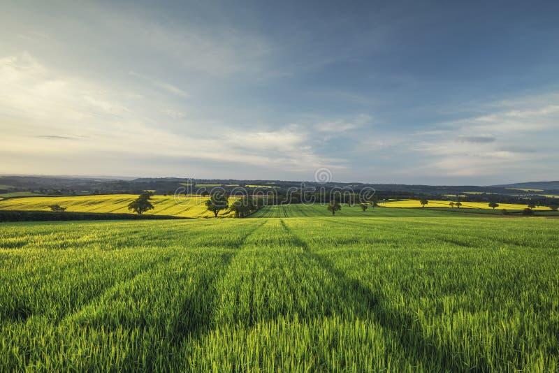 Soluppgångljus över grönt vetefält på våren arkivfoton