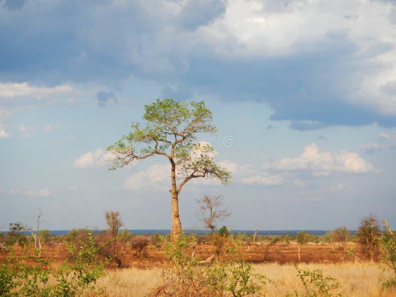 Soluppsättning i den djupa savannahen, krugerbushveld, Kruger nationalpark, SYDAFRIKA royaltyfri bild