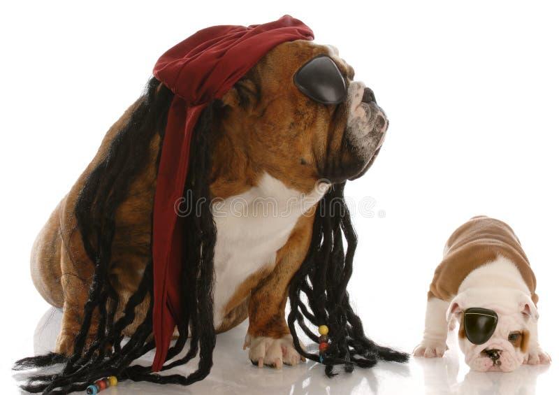 som bulldoggpåklädden piratkopierar royaltyfri bild