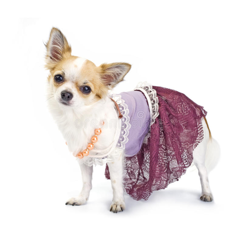 som chihuahua klädde couture haute arkivbild