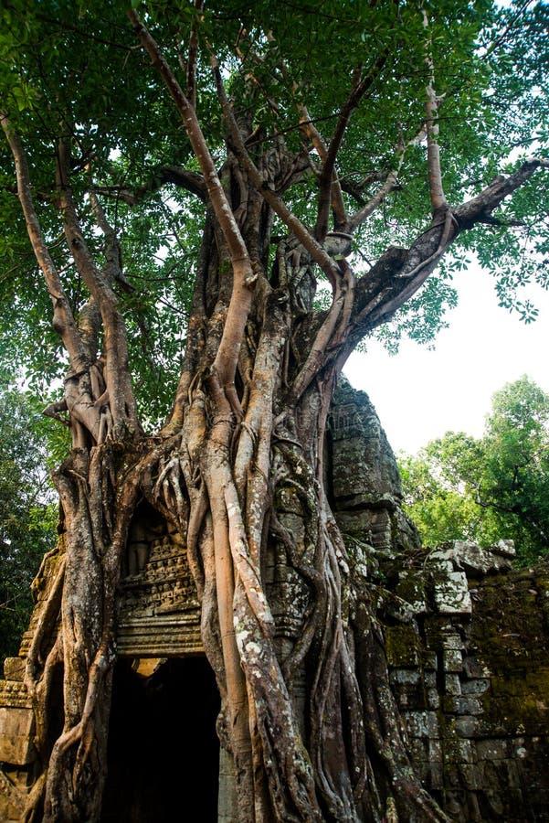 Som de Ta Árvores com raizes nas paredes angkor cambodia imagens de stock royalty free