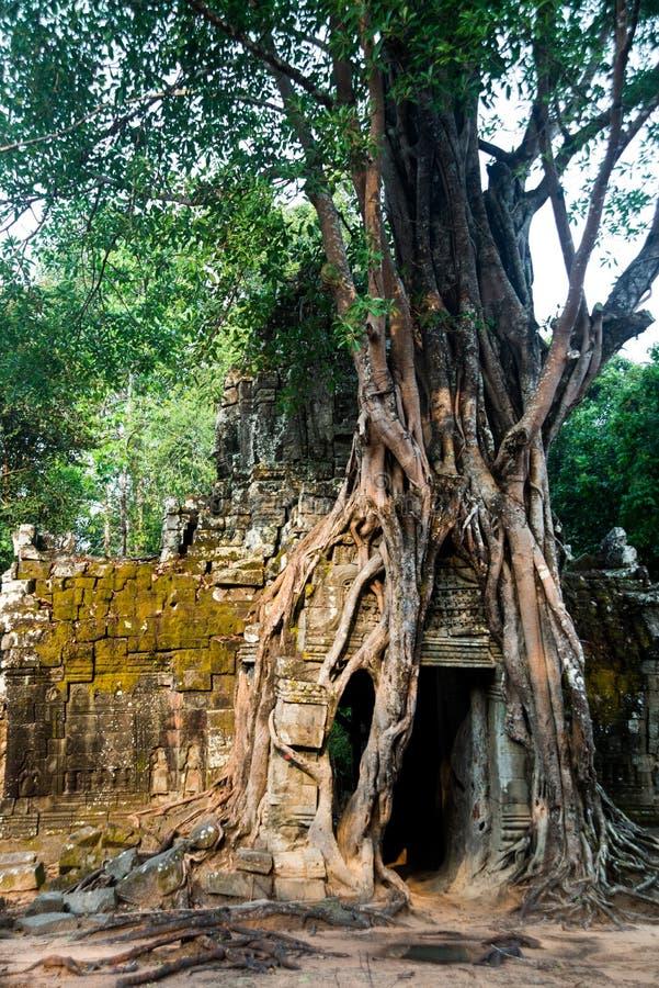 Som de Ta Árvores com raizes nas paredes angkor cambodia fotos de stock