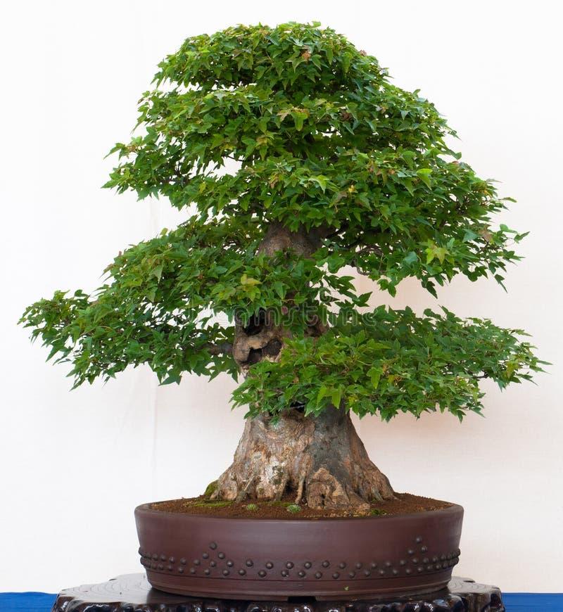 som gammal tree för bonsailönn royaltyfria bilder