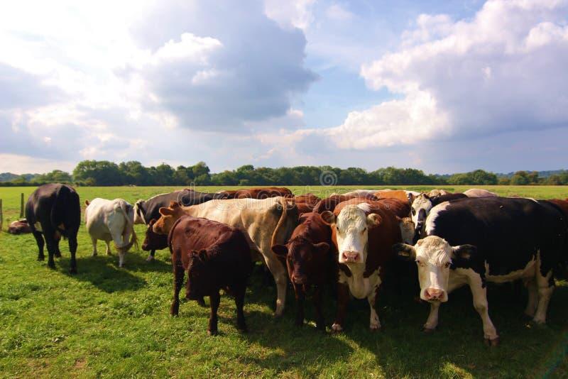 Som hörs av kor i fältet fotografering för bildbyråer