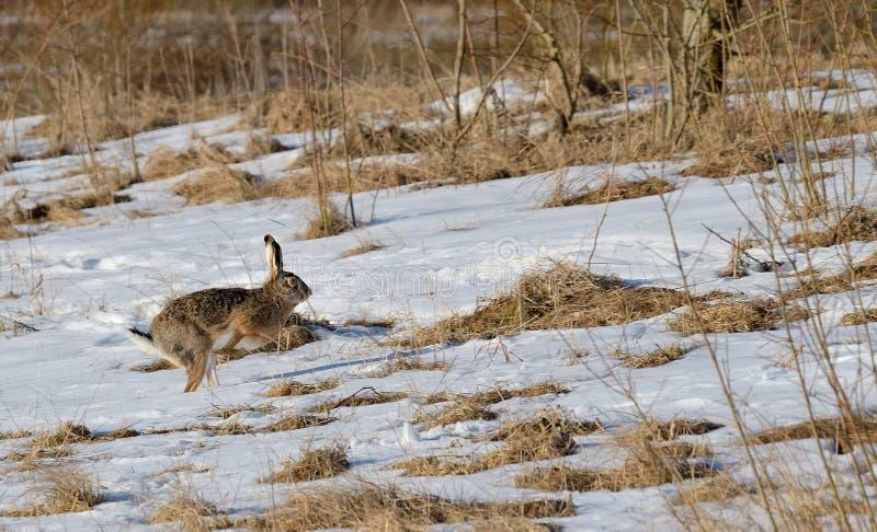 Rinnande kanin arkivfoto