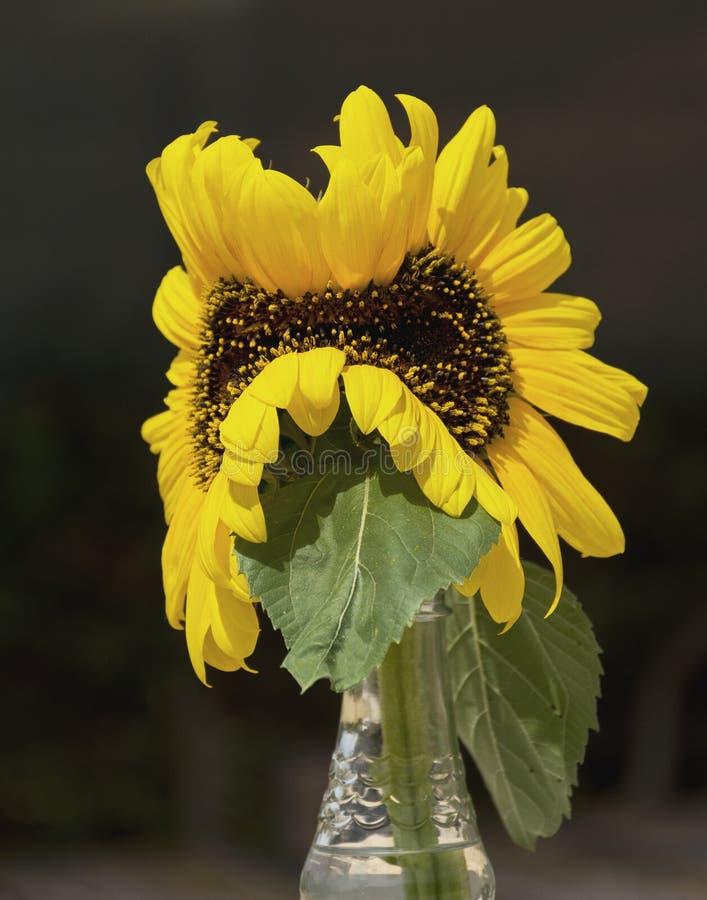 Som undergår mutation dubbel gul solrosstilleben royaltyfri foto