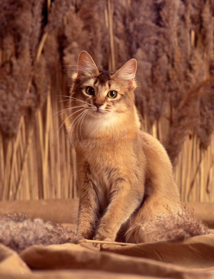 Download Somali cat stock image. Image of abyssinian, somali, kitten - 33352735