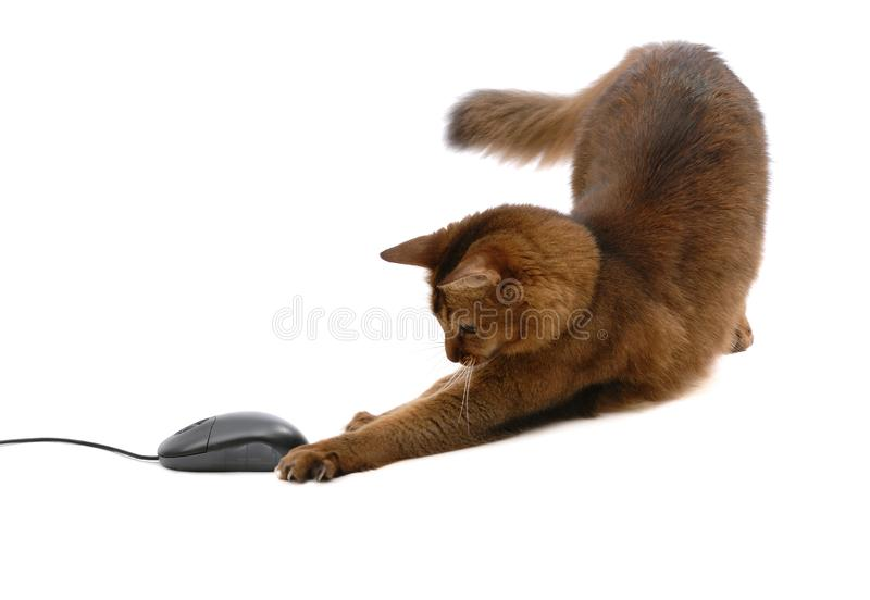 Somali cat with black computer mouse, isolated. Beautiful somali cat with black computer mouse - isolated on white background stock photo