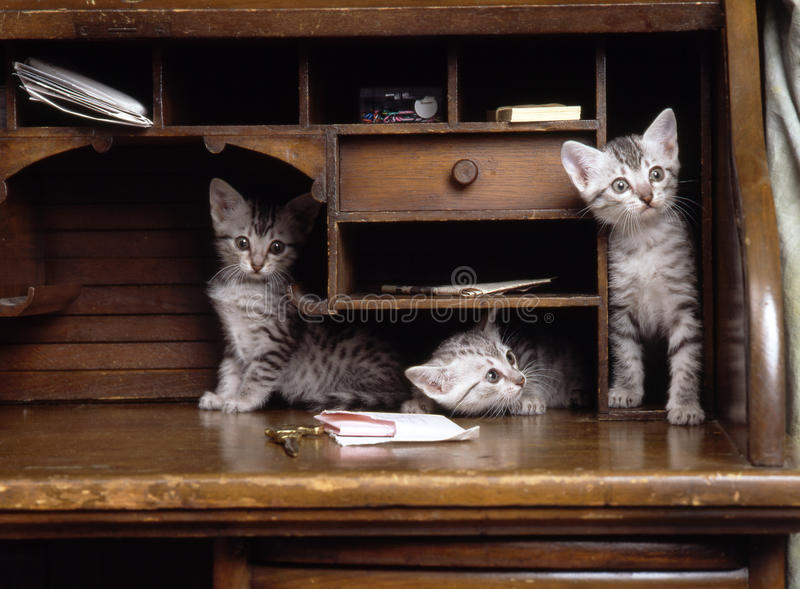 Download Egyptian mau kittens stock photo. Image of play, purebreed - 33352684