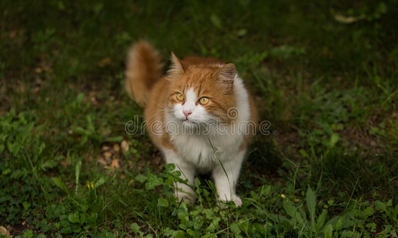 Somali Cat on Grass Close Up Photo royalty free stock image