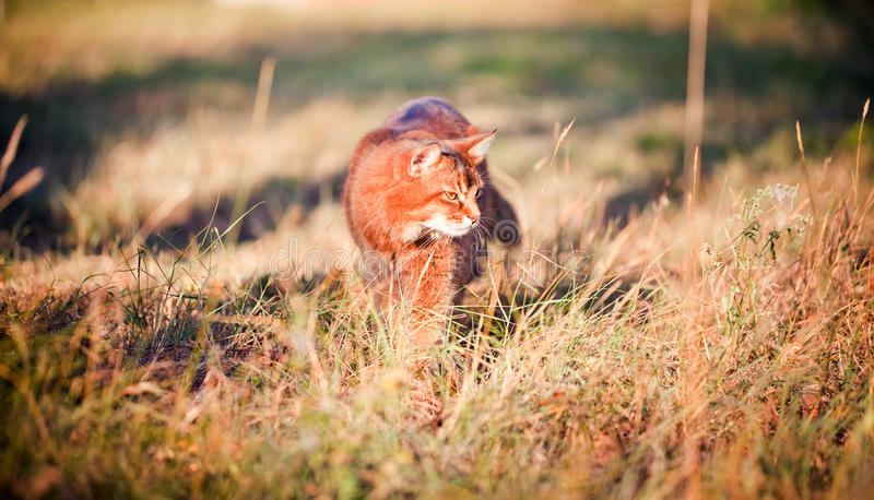 Download Somali cat hunting stock image. Image of walking, outdoor - 26452023