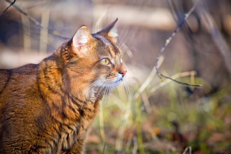 Download Somali cat hunting stock image. Image of light, leaves - 26452275