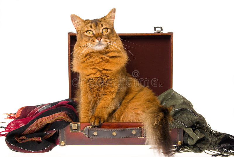 Download Somali Cat Lying In Brown Suitcase Stock Photo - Image: 9957668