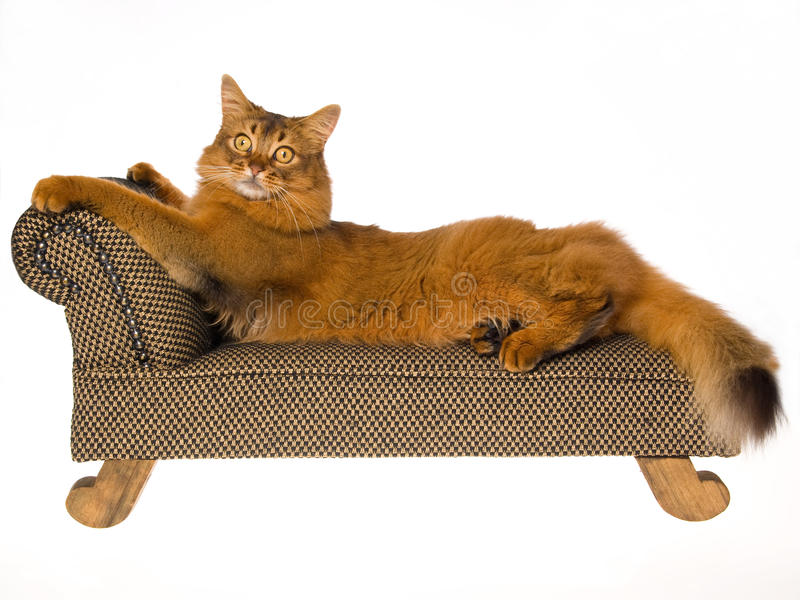 Somali cat lying on mini couch on white background stock image