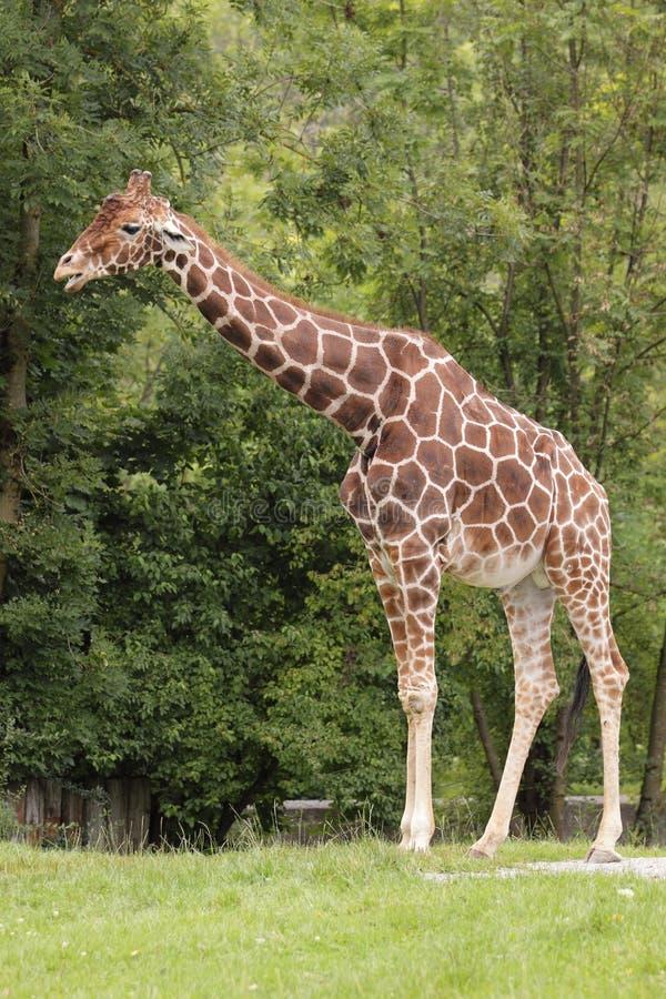 somali giraff royaltyfria foton