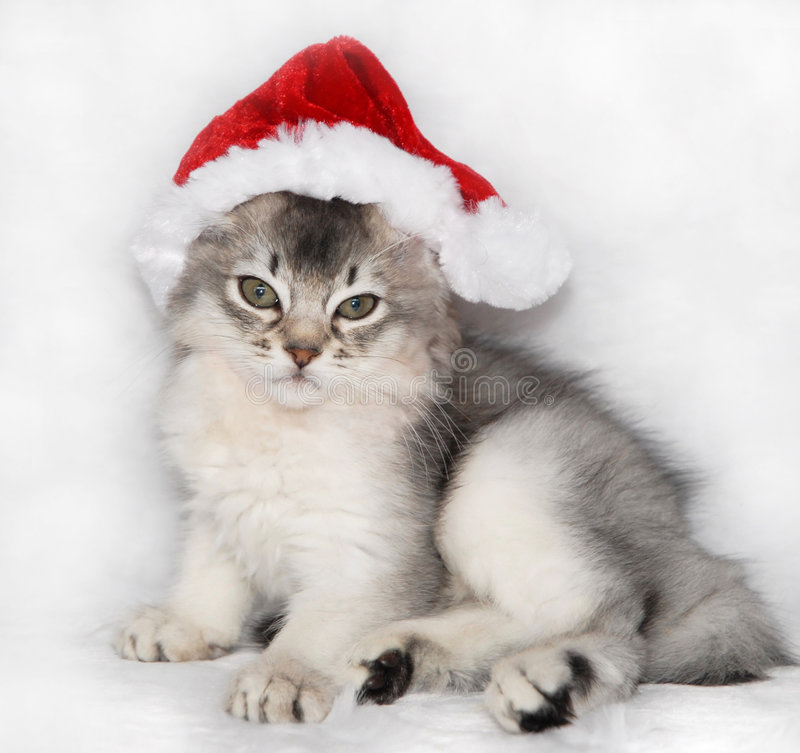 Somali kitten in a santa hat royalty free stock photo