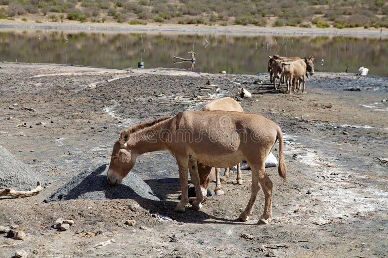 Somali wild (Equus africanus somalicus) at El Sod crater lake Ethiopia. Somali wild (Equus africanus somalicus) is eating the salt taken from the bottom of the stock images
