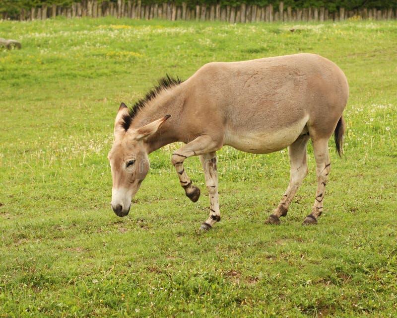 Somalicus di africanus del Equus immagini stock