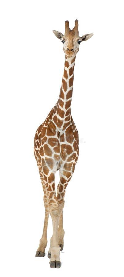 Somalijska Żyrafa zdjęcie royalty free