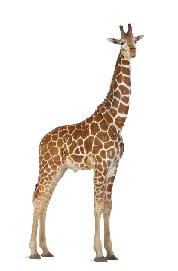 Somalijska Żyrafa obrazy royalty free